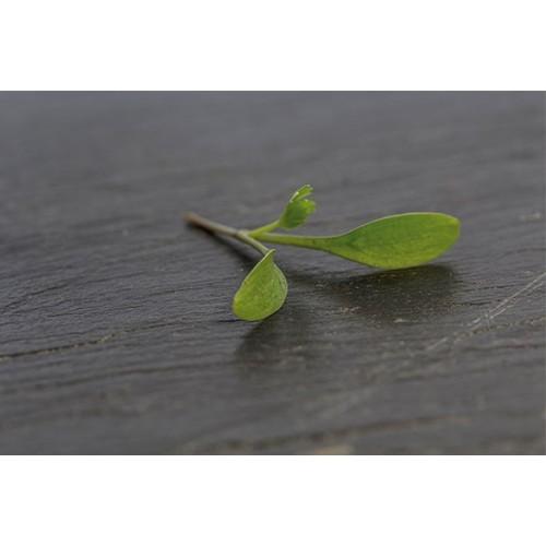 Brotes de cilantro