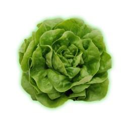 Lechuga viva verde