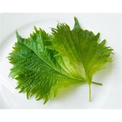 Hojas de shiso verde frescas